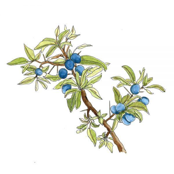 Illustration of a sloe bush