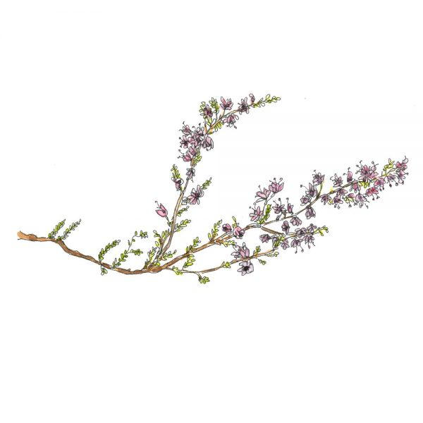 illustration of a spring of heather