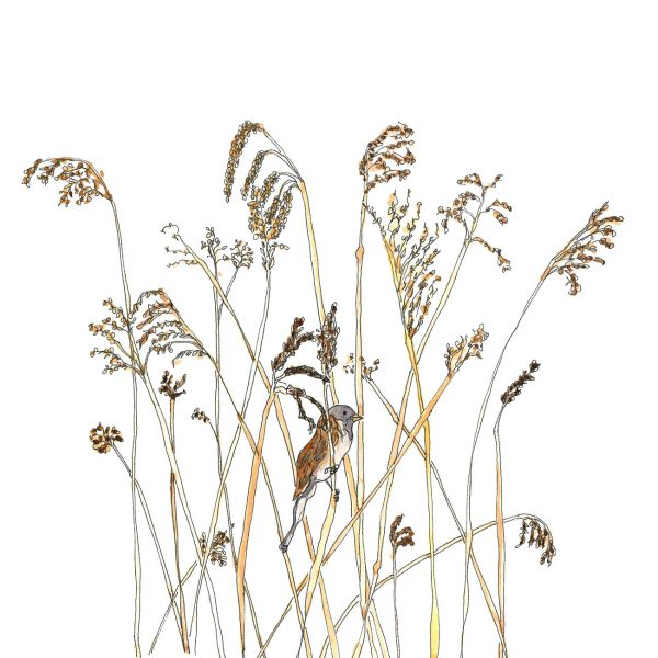 illustration of a reed bunting