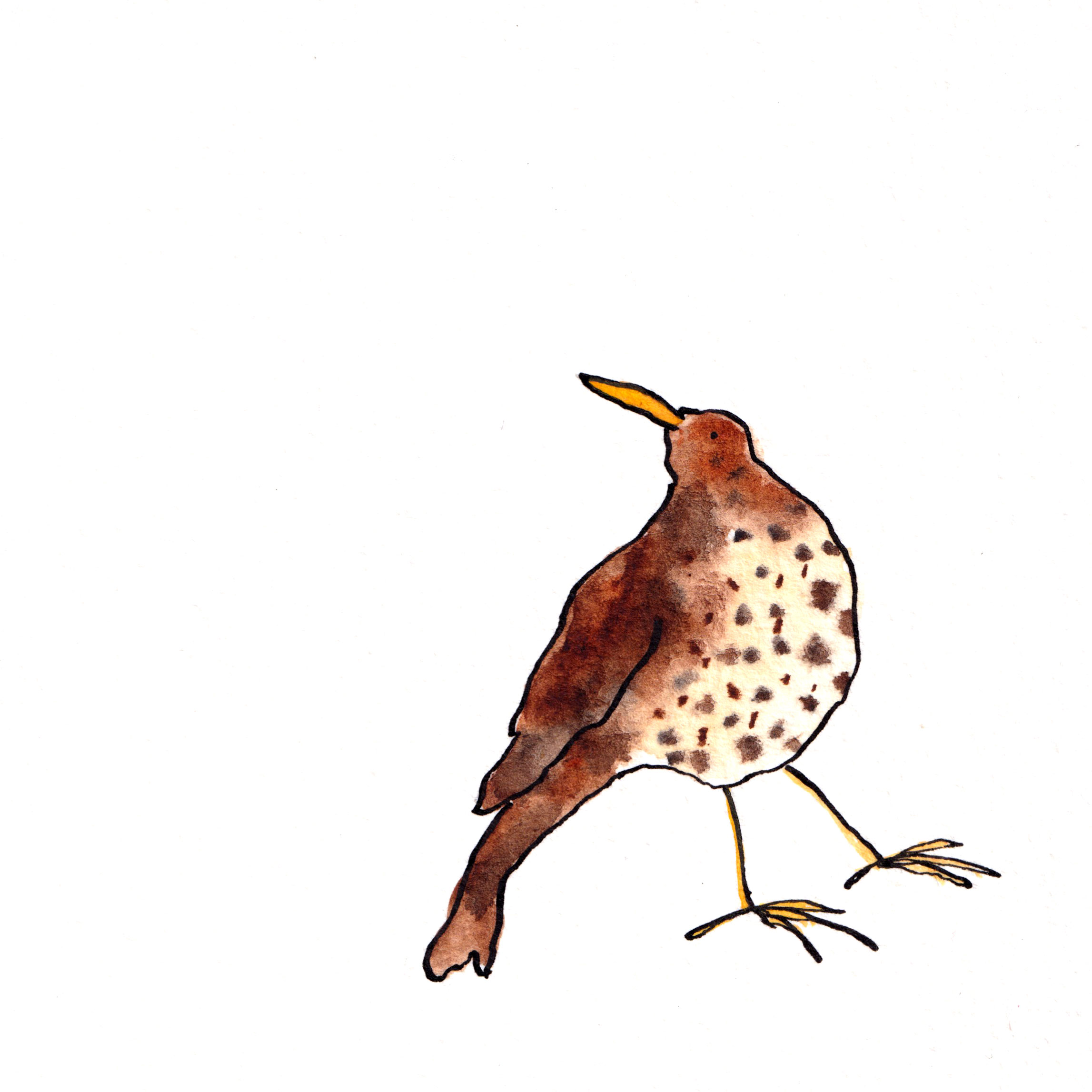 Watercolour drawing of a song thrush
